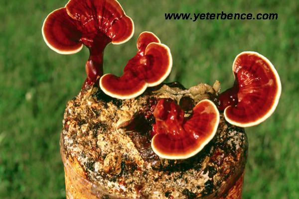 Reishi mantarının faydaları, Reishi mantarı neye iyi gelir, Reishi mantarının sağlığa yararı