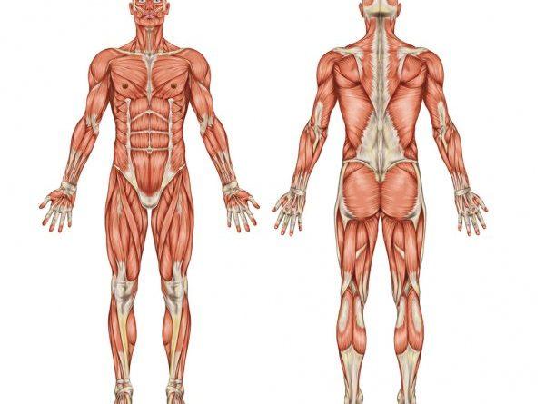 spor yaparken kasların çalışması, kas çalışma sistemi, kaslar nasıl çalışır